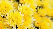 Žlutě kvetoucí chryzantéma prozáří posmutnělou podzimní zahradu.