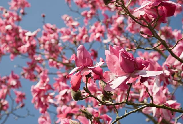 Šácholan (Magnolia, česky také magnólie) je rozsáhlý rod s asi 210 druhy rostlin z čeledi šácholanovité (Magnoliaceae). Rod je v latině pojmenován po francouzském botanikovi Pierre Magnolovi.