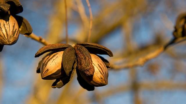 Pekanové ořechy 2