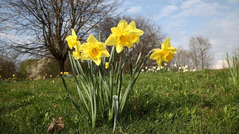 Výsledek obrázku pro jarní květiny narcisky
