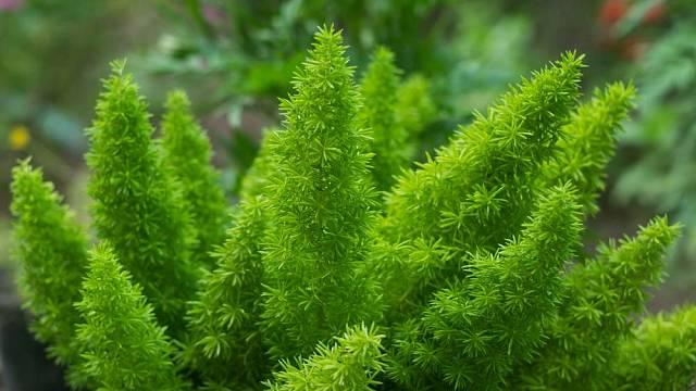 Okrasný asparágus