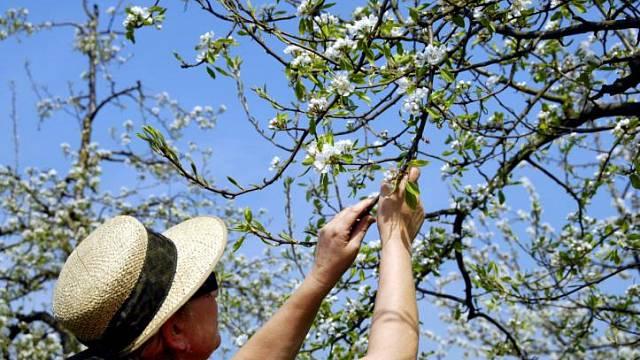 Ovocné stromy je třeba ošetřit proti škůdcům