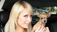 Paris Hilton s čivavou