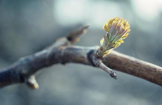 Vinná réva probouzející se k životu
