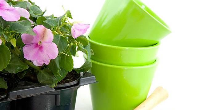 Choulostivé rostliny je lepší vysazovat až po 15. květnu, například balzamíny - Impatiens