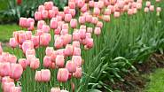 U cibulovin odstraníme odkvetlé květy, zabráníme tím tvorbě semeníků, které by cibule rostliny zbytečně vysilovaly. Listy můžeme odstranit, až když zežloutnou a začnou zatahovat.