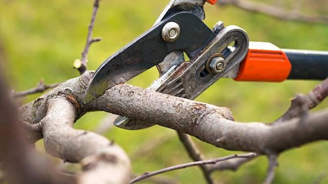 Větev odřezávejte blízko větevního kroužku, ale ne přímo v něm, aby se rána rychleji zacelila.