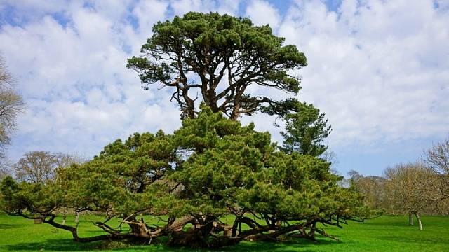 Cedr libanonský je unikátní strom, ale jen pro vytrvalé a trpělivé zahrádkáře.