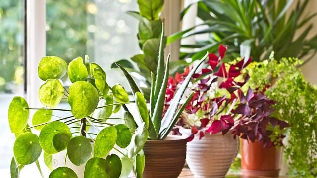 Kam v bytě umístit pokojové rostliny, aby se jim dobře dařilo?