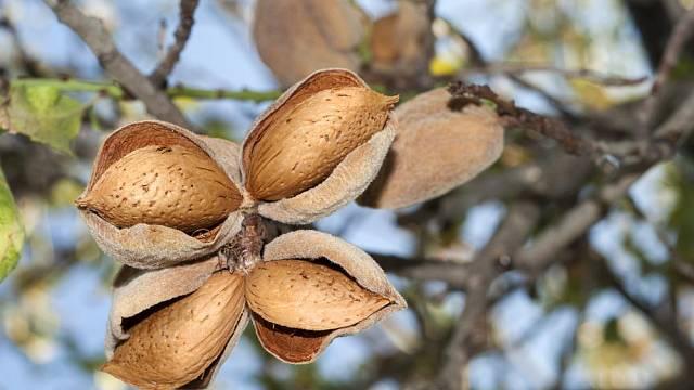 mandlone