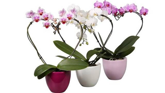 Orchidej motýlokvětá