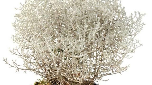 Stříbrné větvičky drátovce můžeme podle libosti nazdobit