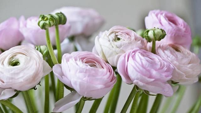 Živé květy pryskyřníku
