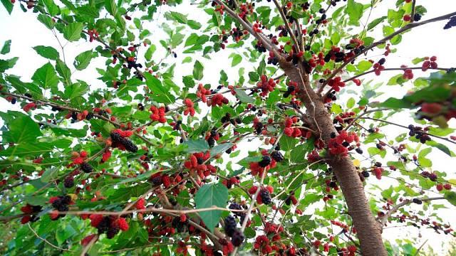 Dospělý strom urodí i kolem 100 kg ovoce.