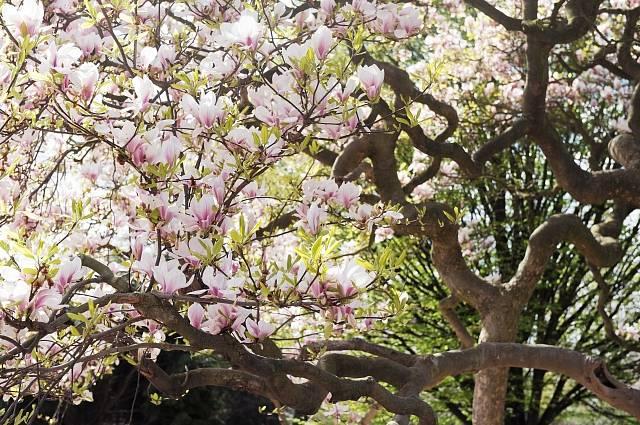 Magnolie patří k nejstarším kvetoucím rostlina