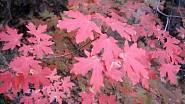 Na jaře jsou listy javoru babyka purpurově červené.