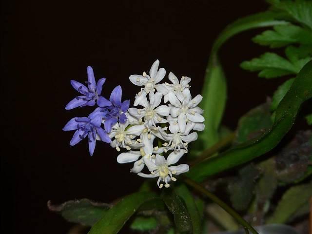 Ladoňky kvetou modrou či bílou barvou.