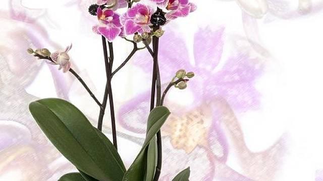 Phalaenopsis neboli můrovec