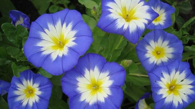 Convolvulus tricolor