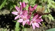 Česnek vysokohorský (Allium oreophilum)