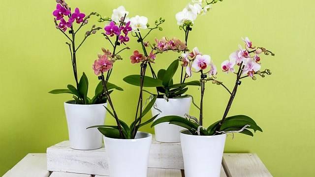 Druh Phalaenopsis se v bytech pěstuje nejlépe.