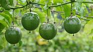 Plody mučenky jedlé