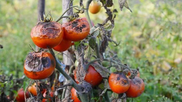 Plíseň bramborová na rajčatech