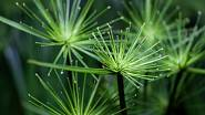 Šáchor papírodárný (Cyperus papyrus)