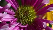 Detail fialového květu chryzantémy.