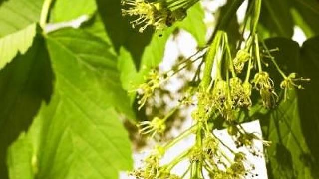 Květy javoru babyka jsou zelené a uspořádané do hroznu