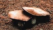 Stropharia rugosoannulata patří mezi houby, které rostou na čerstvých nerozložených organických zbytcích. Je to velmi chutná houba. V kuchyni je límcovka schopna plně nahradit a chuťově i předčit nejoblíbenější pěstovanou houbu - žampión....