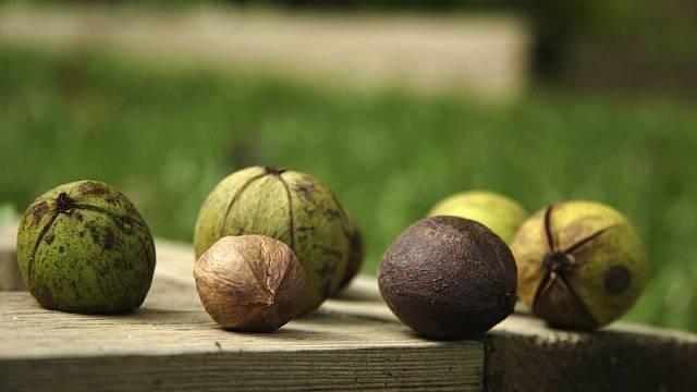 Pekanové ořechy 1