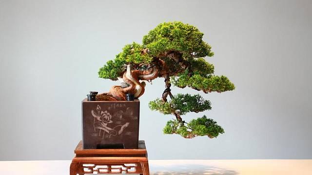 Typický kaskádový styl, kdy kmen stromu roste směrem dolů pod misku.