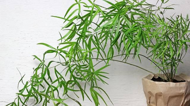 Asparágus srpovitý (Asparagus falcatus)