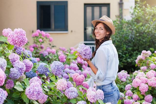 Kvetoucí hortenzie představuje pastvu pro oči.