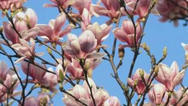 Původní rozšíření druhu Magnolia je nesouvislé, s hlavním centrem ve východní a jihovýchodní Asii a výskytem ve východní Severní Americe, Střední Americe, Západní Indii. Některé druhy rostou v Jižní Americe.
