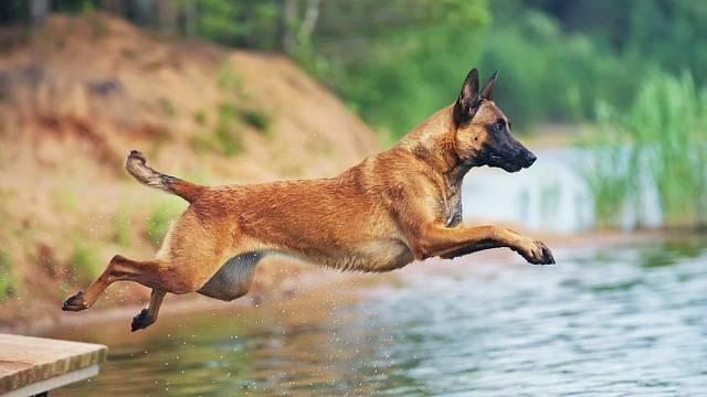 Belgický ovčák se uplatní spíš jako pracovní pes.