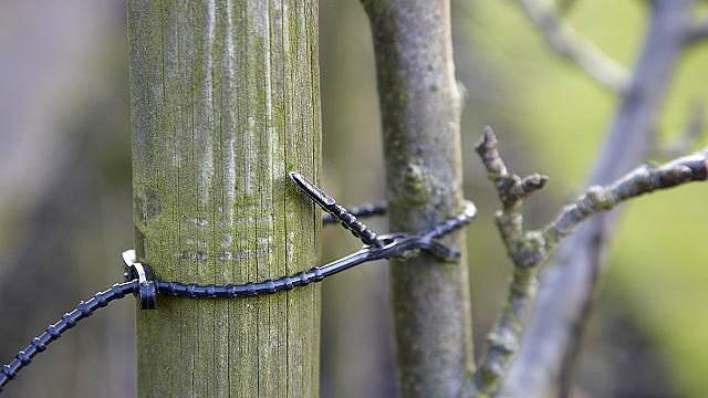 Před zimou mladé stromky připevníme k opoře