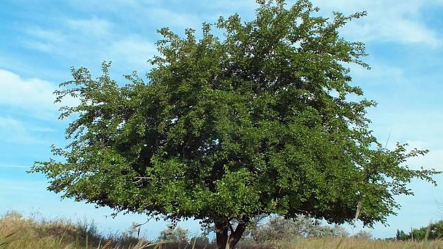 Morušovníky jsou nádherné rozložité stromy, které na zahradě vyniknou.
