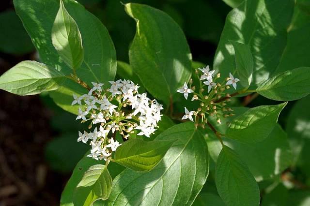 Svída (Cornus) je vděčný, rychlerostoucí opadavý keř, který má na podzim nádherně zbarvené olistění a v zimě sytě barevné větvičky. Na jaře decentně kvete, v létě dělá nevýrazné zelené pozadí květinám.