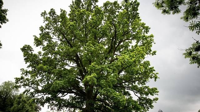 Starý dub ze zámeckého parku v Šilheřovicích
