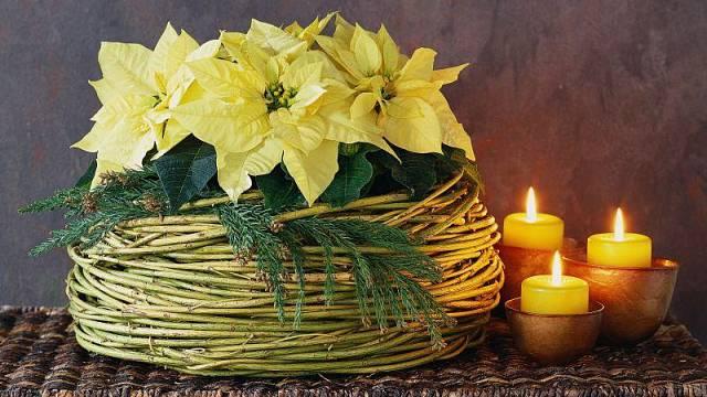 vánoční hvězda dekorace květiny