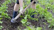 Brambory průběžně kopčíme a odplevelujeme. Jakmile dorostou výšky 10 cm, nahrneme okolo jejich kmínků zeminu, která je současně ochrání před mrazíky.