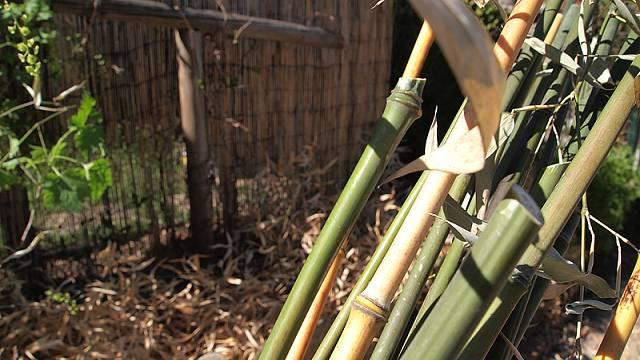 Sklizeň bambusů (žluté stonky Phyllostachys aureosulcata, zelené Phyllostachys bissetii).