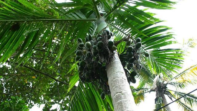 Areková palma