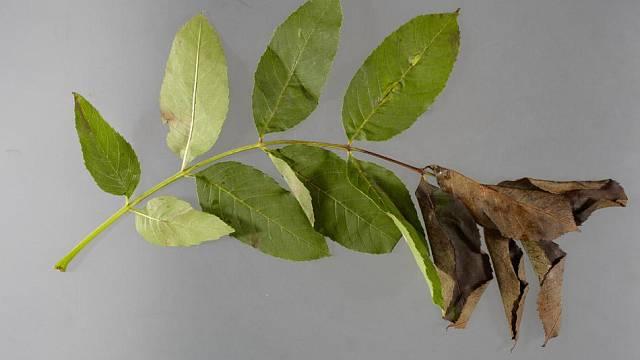 Typický prvotní příznak chalary - chřadnutí listů. Foto: http://www.bamfordfraser.co.uk/