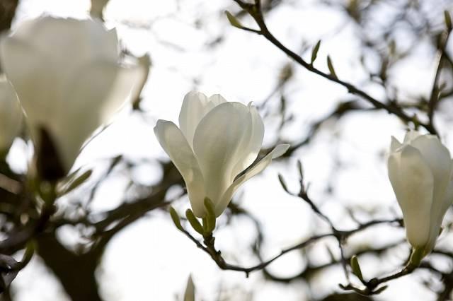 Bílé květy magnólie