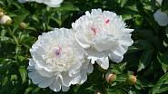 Plnokvěté odrůdy (Paeonia lactiflora) jsou velmi populární pro velké nádherné květy mnoha barev.