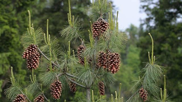 """Zakrslá borovice himálajská (Pinius wallichiana) """"Densa Hill"""""""