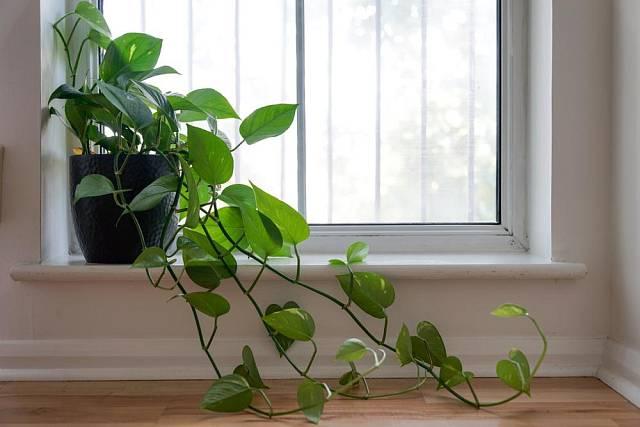 Filodendron, obzvlášť popínavé varianty, patří k rostlinám, které prosperují i v koupelně.